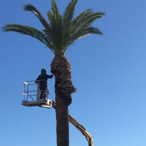 Pruning-A-Palm-Tree
